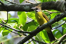 White-throated Bulbul (Alophoixus flaveolus) in tree, from front (cropped).jpg
