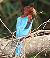 White-throated kingfisher with crab at Kaveri bank.jpg