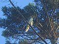 White Belly Sea Eagle - Flickr - GregTheBusker.jpg