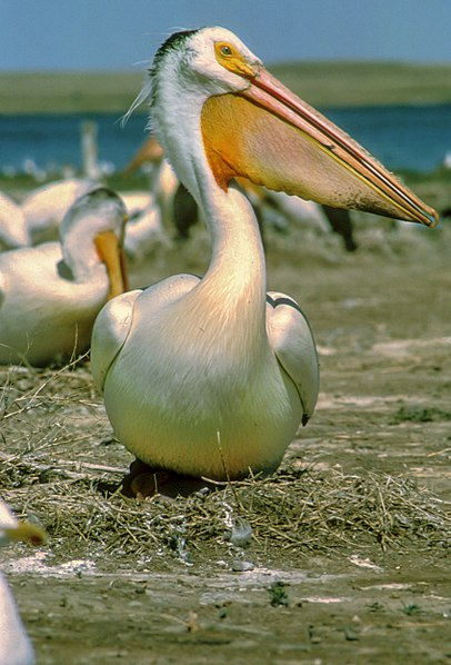 http://upload.wikimedia.org/wikipedia/commons/thumb/7/70/White_Pelican.jpg/406px-White_Pelican.jpg