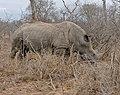 White Rhino (Ceratotherium simum) female (32104454030).jpg