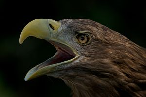 White-tailed eagle - Closeup of white-tailed eagle calling
