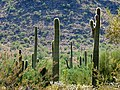 White Tank Mountains Regional Park - Closeup Cactuses - 60144.JPG