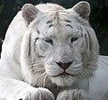 White Tiger 2 (5018363280).jpg