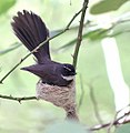 White throated Fantail I2 IMG 3049.jpg