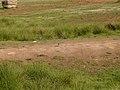White wagtail at Mali lag, Botevgrad, Bulgaria.jpg
