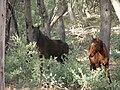 Wild Brumbies Australia 02.jpg