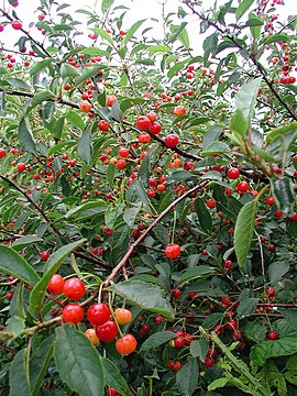 Wild Cherry - geograph.org.uk - 498791.jpg