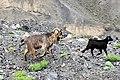 Wild Goats of Khunjarab Pass.jpg