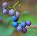 Wild blueberries near Sydney.jpg