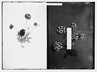 Wild flowers of Palestine. Syrian poppy (P. syriacum Boiss. et Bl.); (Unidentified flower). LOC matpc.02415.jpg