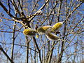 Willow catkin1.jpg