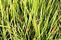 Winter grass in Bangladesh.jpg