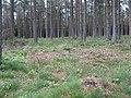 Wood, Brae of Airlie - geograph.org.uk - 439497.jpg
