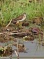 Wood Sandpiper (Tringa glareola) (32434469873).jpg