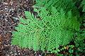 Woodwardia fimbriata - Regional Parks Botanic Garden, Berkeley, CA - DSC04414.JPG