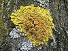 Xanthoria parietina (06 03 31).jpg