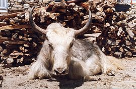 Yak at Dingboche (Nepal).jpg