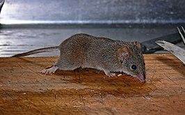 Yellow-Footed-Antiechinus--antechinus-Flavipes.jpg
