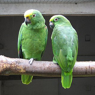 Yellow-crowned amazon species of bird