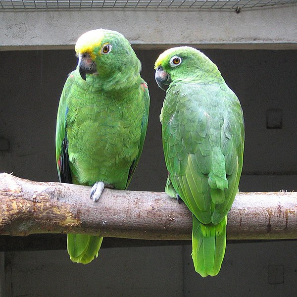 File:Yellow-crowned Amazon (Amazona ochrocephala) -Well Place Zoo-4c.jpg
