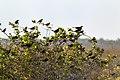 Yellow-hooded Blackbird Turpial de agua (Chrysomus icterocephalus) & Shiny Cowbird Tordo Mirlo (Molothrus bonariensis) (9809685833).jpg