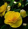Yellow Begonia (2756952042).jpg