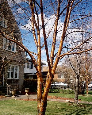 Betula alleghaniensis - Yellow Birch bark