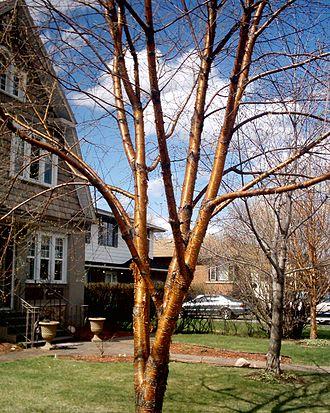 Betula alleghaniensis - Yellow Birch bark