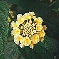 Yellow Lantana camara.jpg