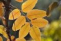 Yellow Leaves of Sunlight - panoramio.jpg