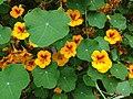 Yellow and red Tropaeolum majus (Garden nasturtium).jpg