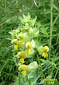 Yellow rattle (Gru) (31859410671).jpg