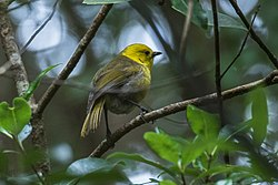Yellowhead - New Zealand (38580339974).jpg