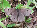 Ypthima ypthimoides Moore, 1881 – Palni Four-ring at Mannavan Shola, Anamudi Shola National Park, Kerala (36).jpg