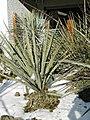 Yucca baccata subsp. vespertina 20 Jahre altes Exemplar in cultur in der Sammlung von F. Hochstätter B.jpg