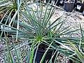 Yucca filamentosa (Adam's needle) 3 (39162580254).jpg