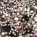 Z Gibbaeum album growing among rocks - RSA.jpg