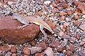Zebra-tailed Lizard (8982658932).jpg