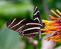 Zebra Longwing 2740.jpg