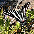 Zebra Swallowtail (5393875236).jpg