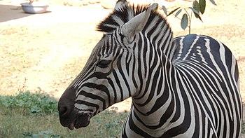 Zebra in chattbir zoo.jpg