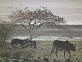 Zebu Bos taurus indicus in Tanzania 2254 Nevit.jpg