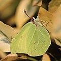 Zitronenfalter Gonepteryx rhamni 9652.jpg