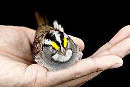 Zonotrichia albicollis, Bird hand 2013-02-28-10.47