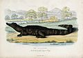Zoological Society of London; an alligator lying on the shor Wellcome V0023089.jpg