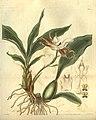 Zygosepalum labiosum - Curtis 55 (N.S. 2) (1828) pl. 2819.jpg