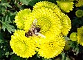 """""""бал хризантем"""" в Нікітському ботанічному саді, 1.jpg"""