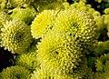 """""""бал хризантем"""" в Нікітському ботанічному саді, 7.jpg"""