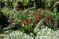'Crocosmia × crocosmiiflora' Montbretia in Walled Garden border of Parham House, West Sussex, England 3.jpg